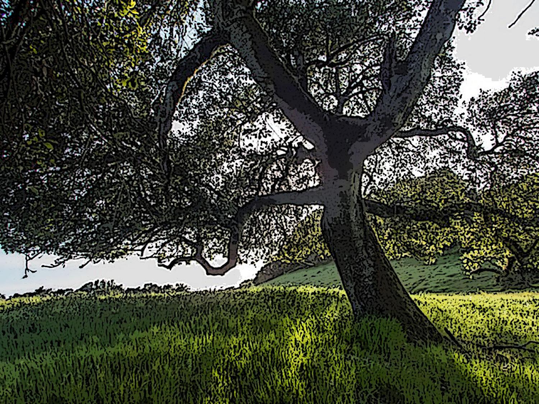 ca-live-oak.jpg
