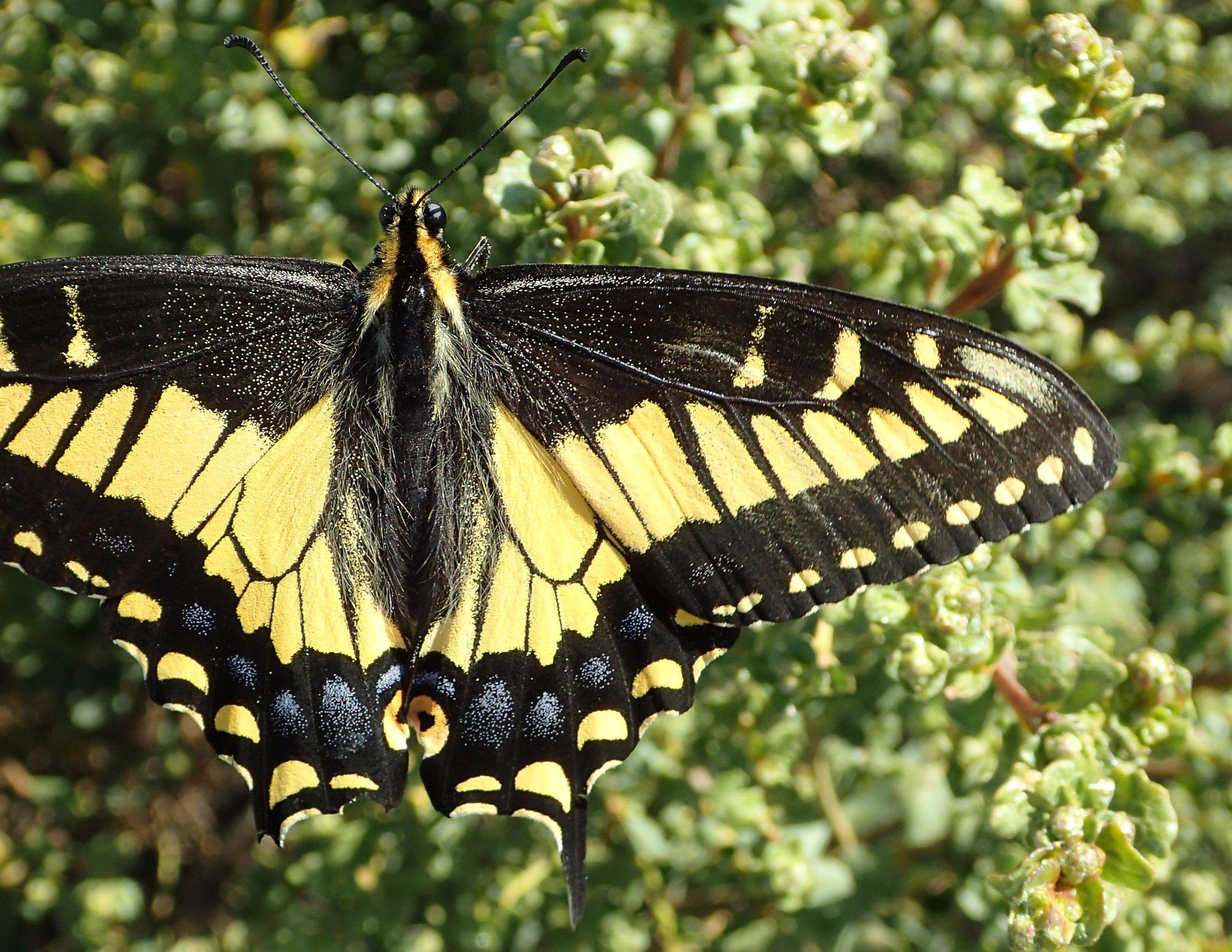 Anise Swallowtail-109.jpg