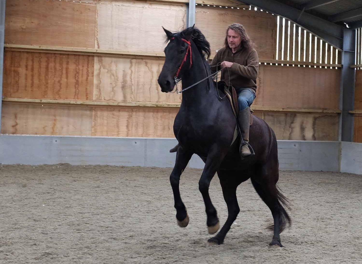 Gossamer, a young mare, being trained to rear on command with the weight of a rider .