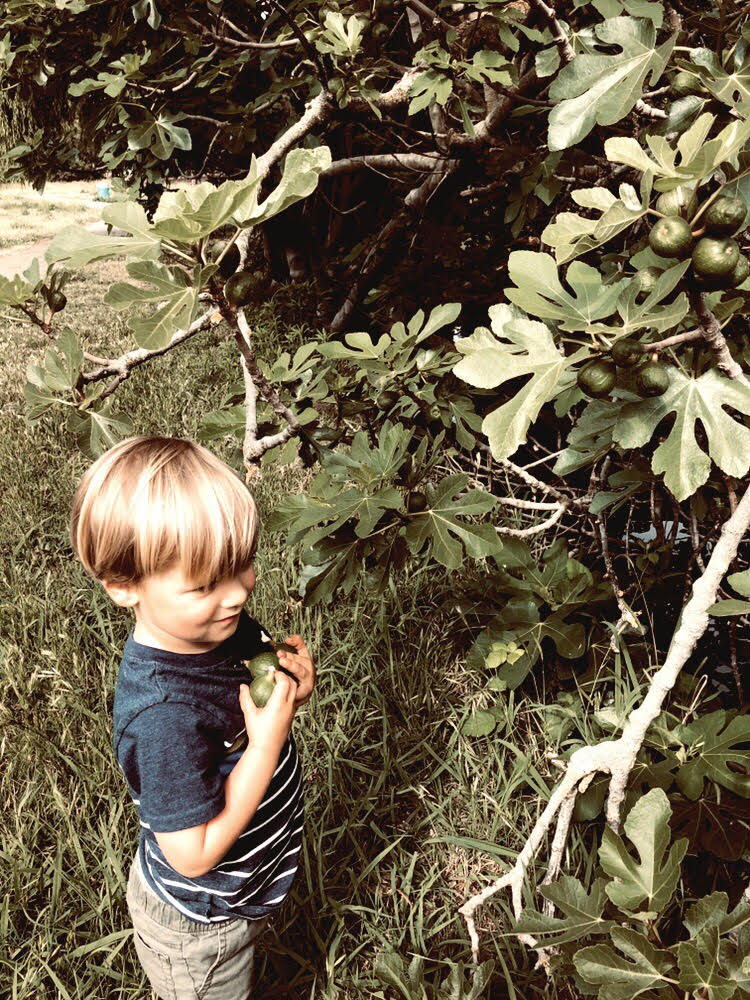 Miles Collecting Green Figs