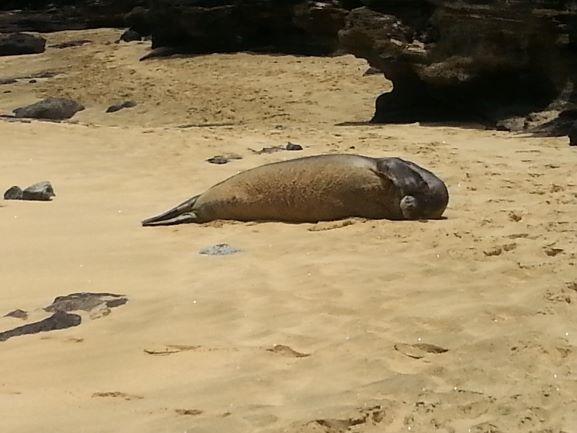 Monk seal lounging on Sandy Beach (photo: Brent Petersen)