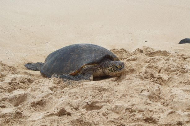 They don't call it Turtle Beach for nuthin' (photo: Brent Petersen)