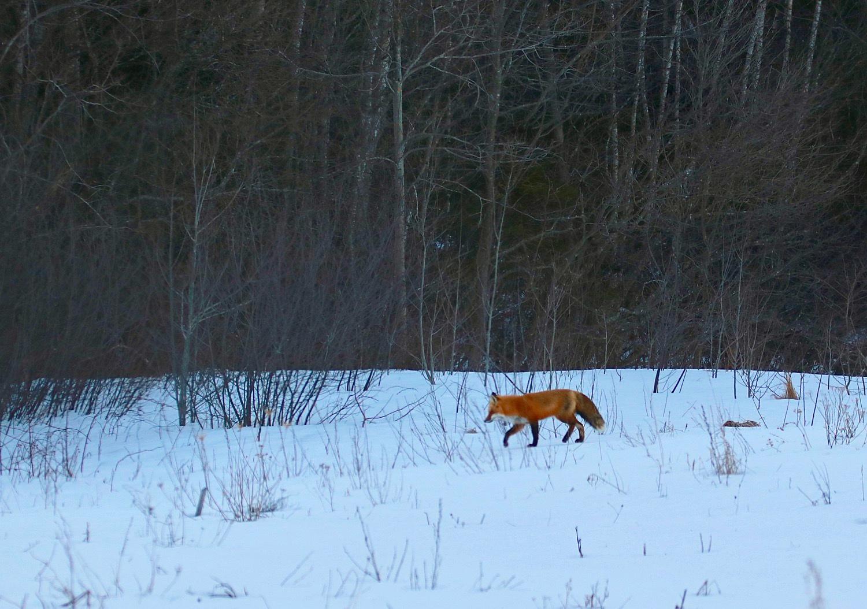 red-fox-gaspereau-valley.jpg