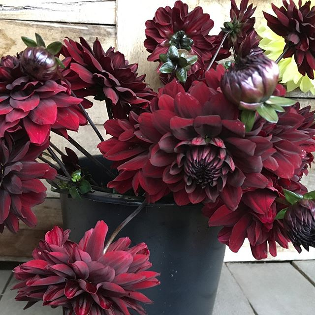 Trick or treat. TREAT!! For every Dahlia that you purchase off the farm stand today, please enjoy a chocolate Dahlia on us. We appreciate all of you that have been purchasing off the farm stand. Thank you and we hope you have a Happy and safe Halloween!