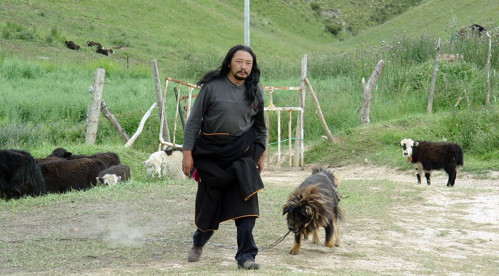 """Old Dog Pema Tseden   2011   Tibet/China   88'   Drama   Tibetan with English Subtitles   A Tibetan sheep herder sells his father's prized Tibetan mastiff to a dealer without his father's approval. When his father finds out, he must travel into a frontier town to retrieve the dog that he raised for 12 years and is deeply attached to. The relation between father and son is turned upside down, and the mastiff has to be guarded at all times from dog-nappers and dealers who constantly harass the family with ever increasing offers. """"Old Dog"""" is a poetic story about Tibet's changing society, where old values are in direct conflict with new."""