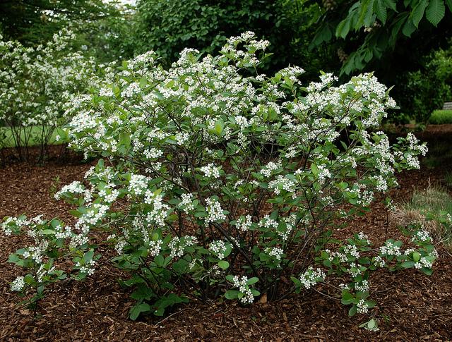 aronia melanocarpa_Iroquois-Beauty-Black-Chokeberry2.jpg