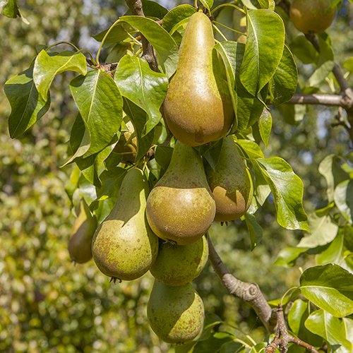 conference pear tree 2.jpg
