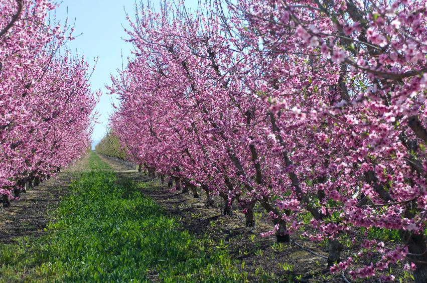 stanley-plum-tree-plum-trees-in-spring.jpg