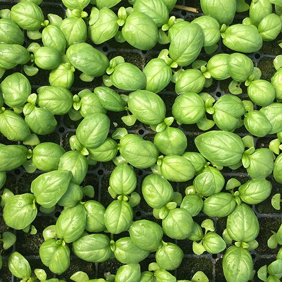 basil seedlings.jpg