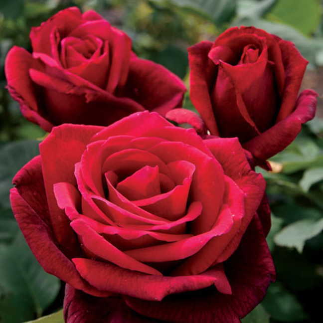 Roses for your Valentine