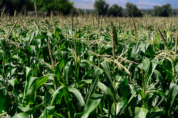 bright-green-corn-fields-line-munson-farm-off-valmont-rd-in-east-picture-id454515856.jpg