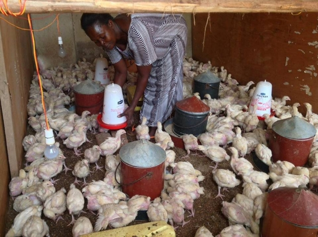 Chicken Rearing is Ongoing