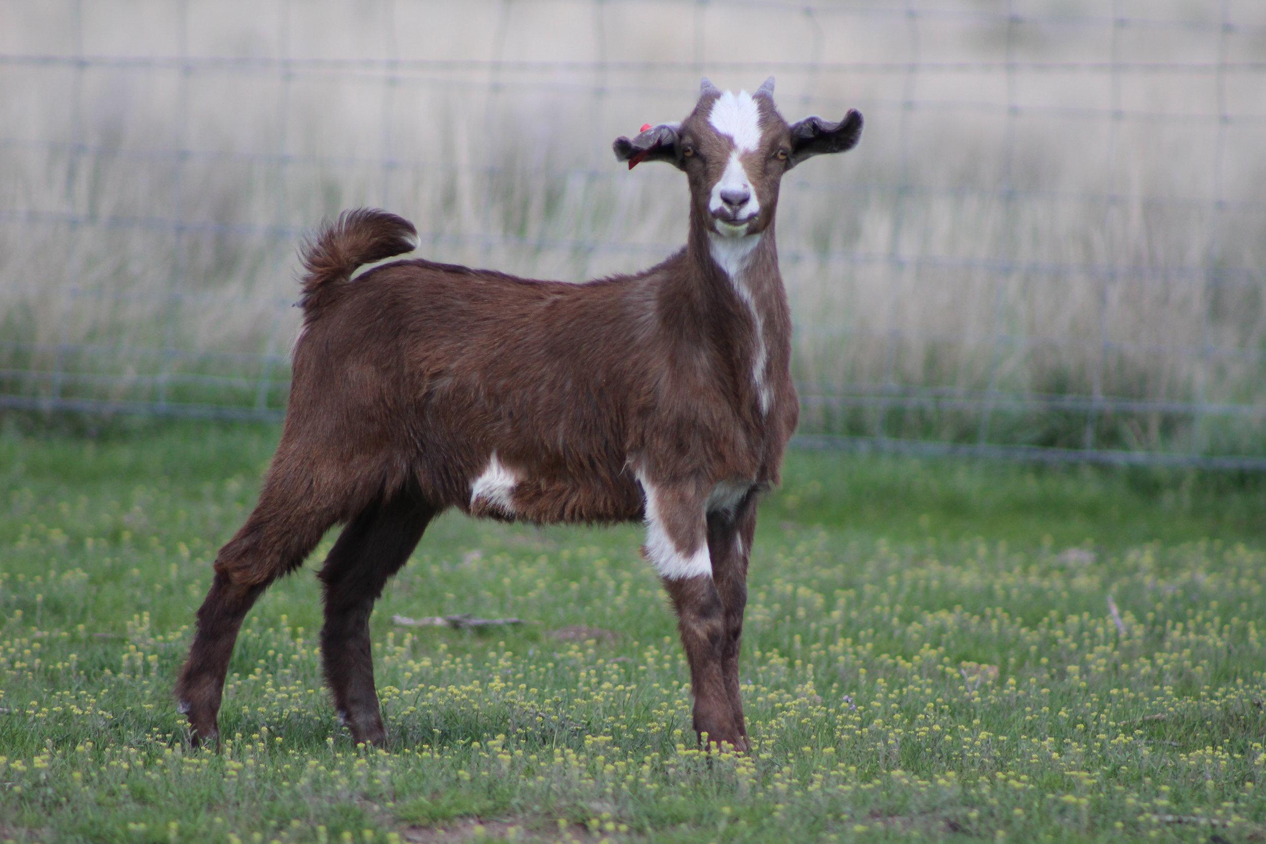 RRG    100% NZ reg. Kiko  Dam:  Sire: GOT Rusty  Date of Birth:  Twin  Birth Weight: Lb  Weaning Weight: Lbs  CAE, Cl, Johannes clean herd
