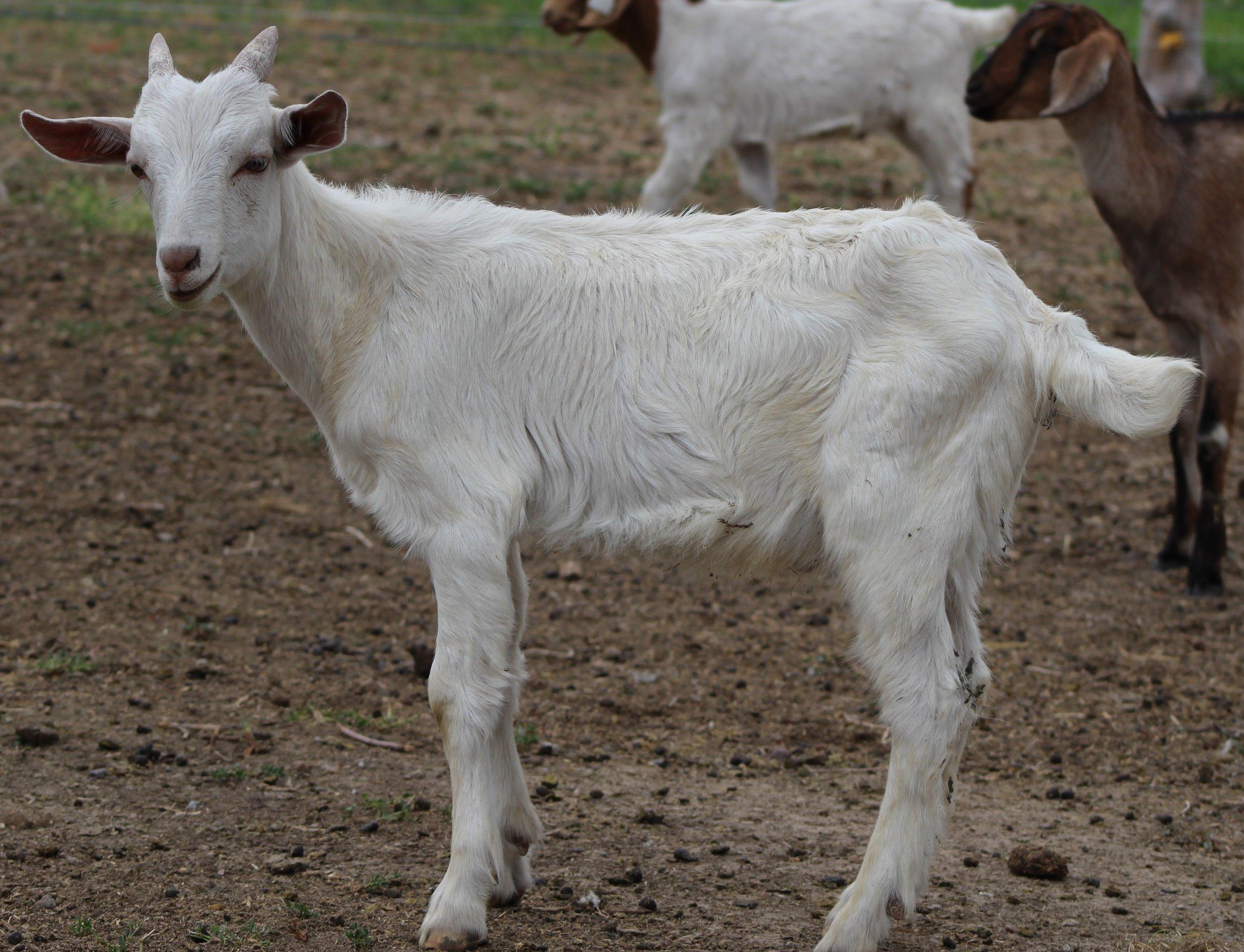 1/2 Kiko X 1/4 Sannen X 1/4 Alpine  Dam:  Sire: GOT Rusty  Date of Birth:  Twin  Birth Weight:  Weaning Weight:  ADG:  CAE, Cl, Johannes clean herd.