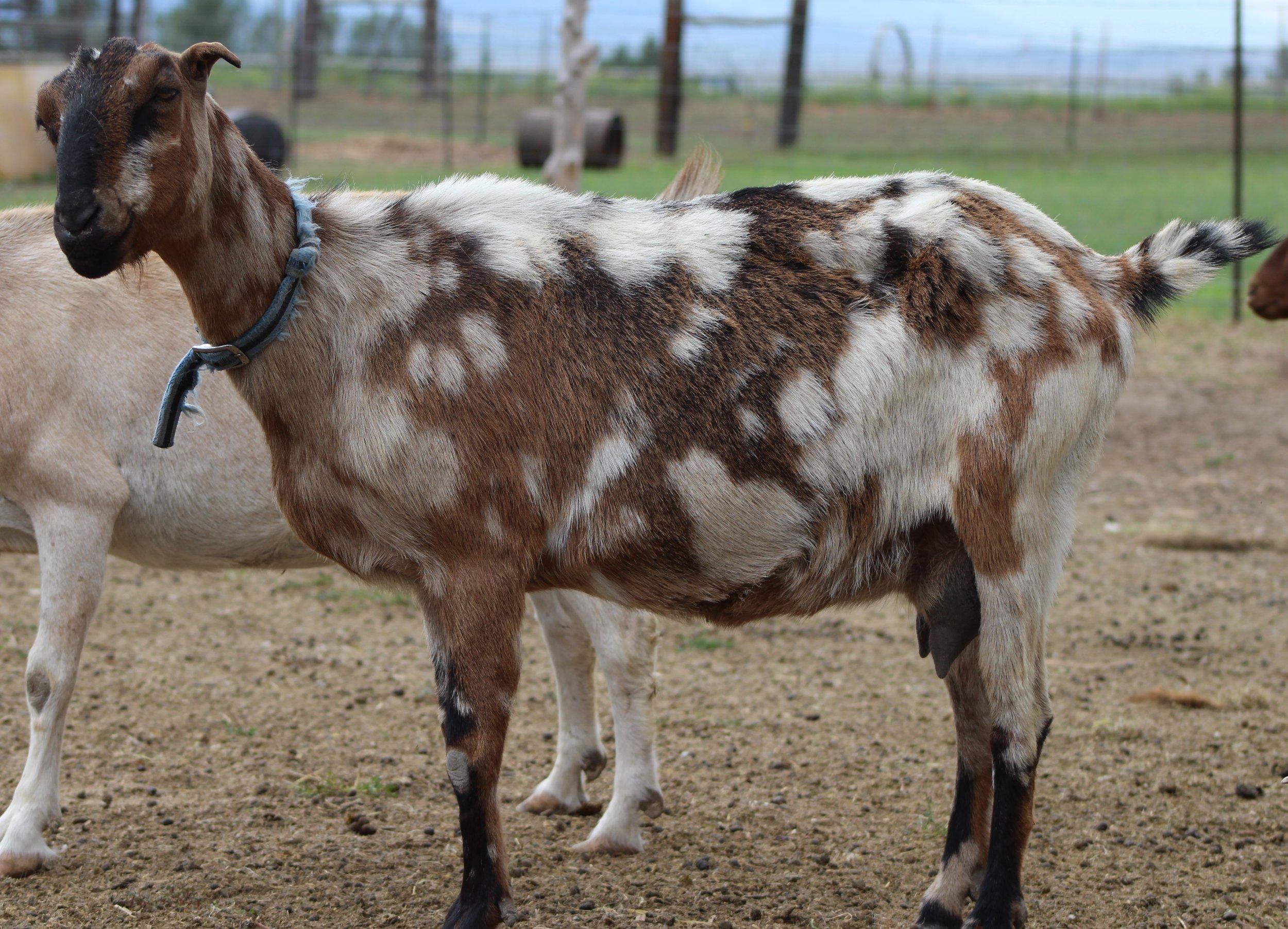Jessie   3/4 Kiko X 1/4 Nubian  Dam:  Sire:  Date of Birth:  Twin  Birth Weight:  Weaning Weight:  ADG:  CAE, Cl, Johannes clean herd
