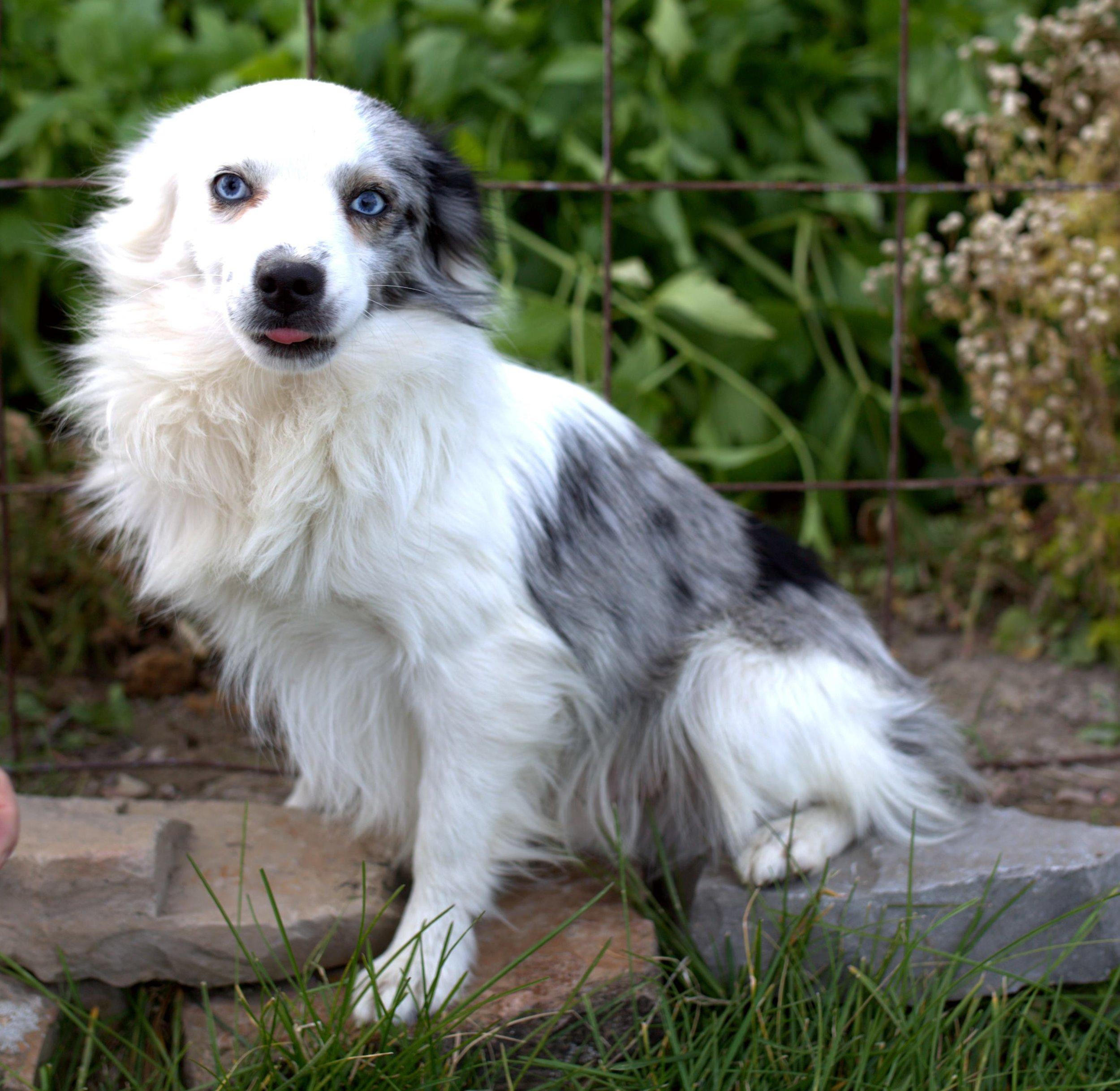 RG Cash   CKC Register Toy Aussie  International Stock Dog Registered Toy Aussie  Dam:  Sire: GOT Rusty  Date of Birth:
