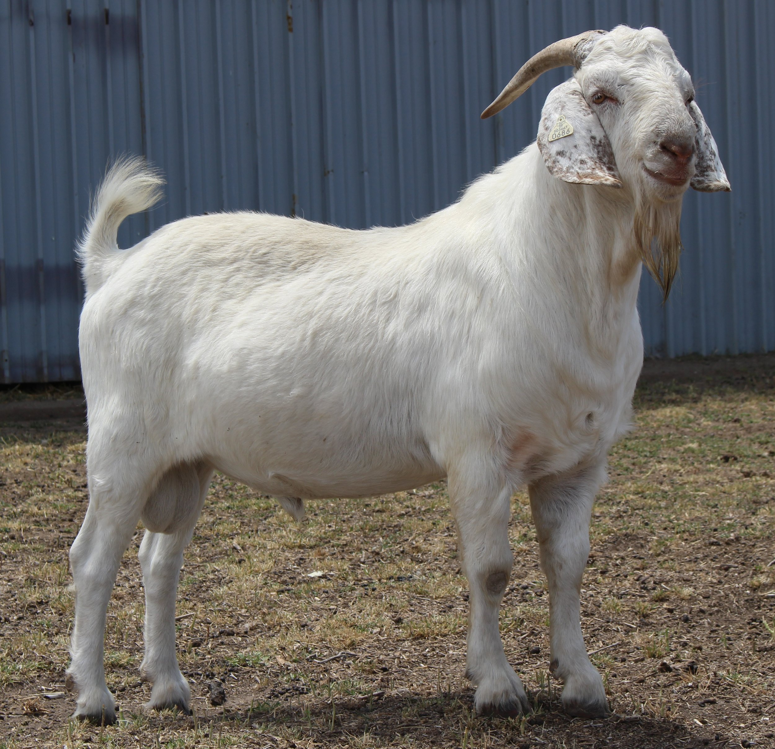 GS George   100% Fullblood DNA Registered Savanna  Dam:GS Sally  Sire: ITG B58  Date of Birth: 5/21/2017  Twin  Birth Weight:  Weaning Weight:  ADG:  CAE, Cl, Johannes clean herd.