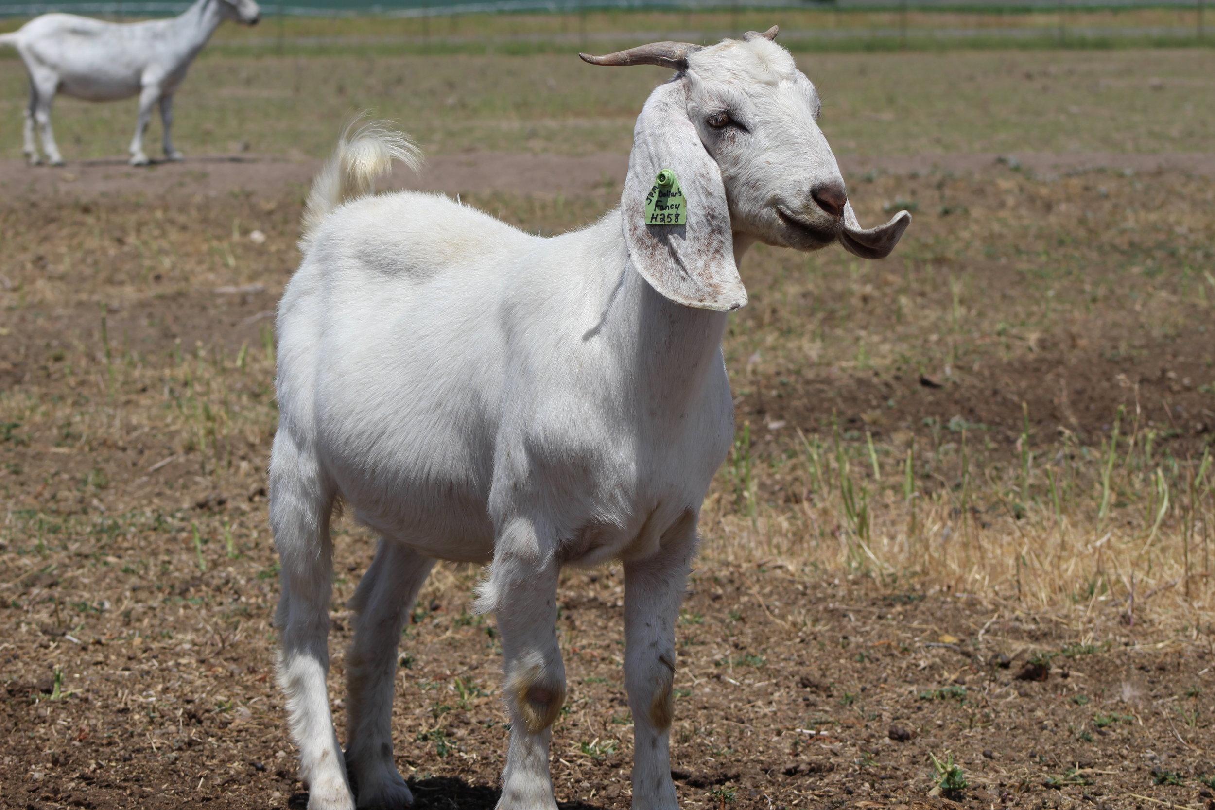 JPM Dollar's Fancy   100% Fullblood/DNA-P Register Savanna  Dam:GCS Faith  Sire: MGF A 102 Dollar  Date of Birth:9/1/2018  Littersize: E.T.  Birth Weight:  Weaning Weight:  ADG:  CAE, Cl, Johannes clean herd