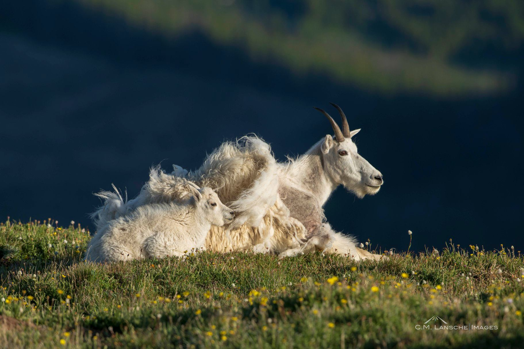 These mountain goats are just chilling here. This image also by Charlie Lansche - C.M Lansche Images