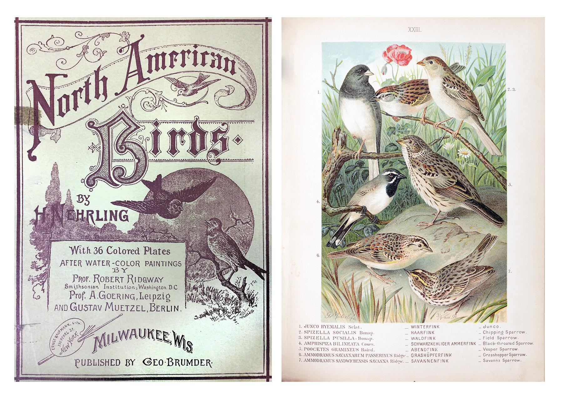 4-NAmericanBirds-Nehrling.jpg