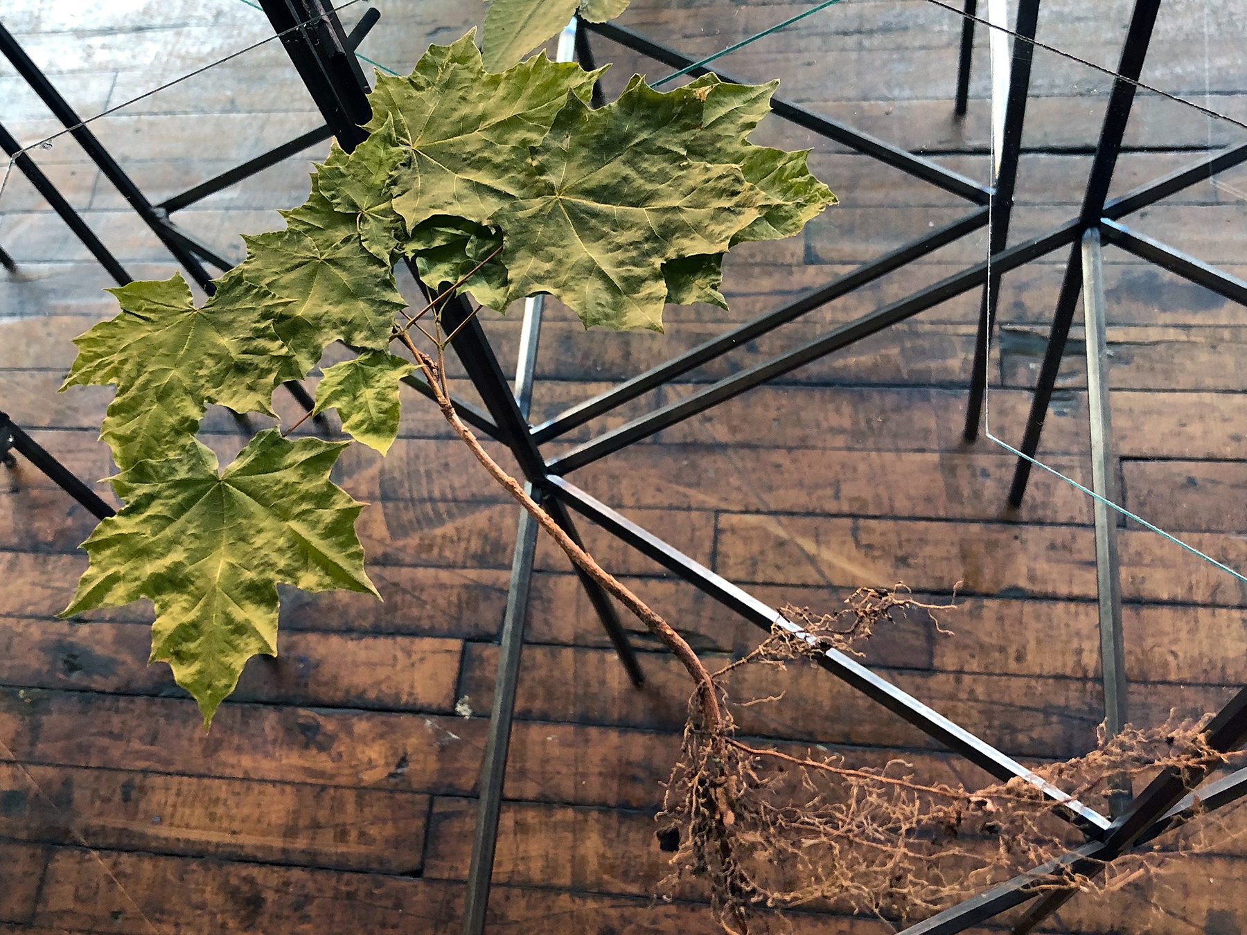 4th NATURE  detail of Norway Maple, pressed plants, glass, steel, 3'h x 20'w x 6'd total 2018