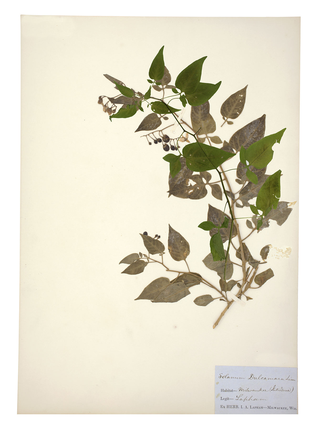 Nightshade specimen collected by Increase Lapham 1835-40 overlaid by sample collected by Jill Sebastian 2017