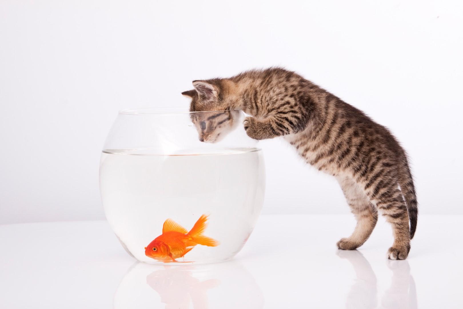 Cat-Looking-At-Goldfish.jpg