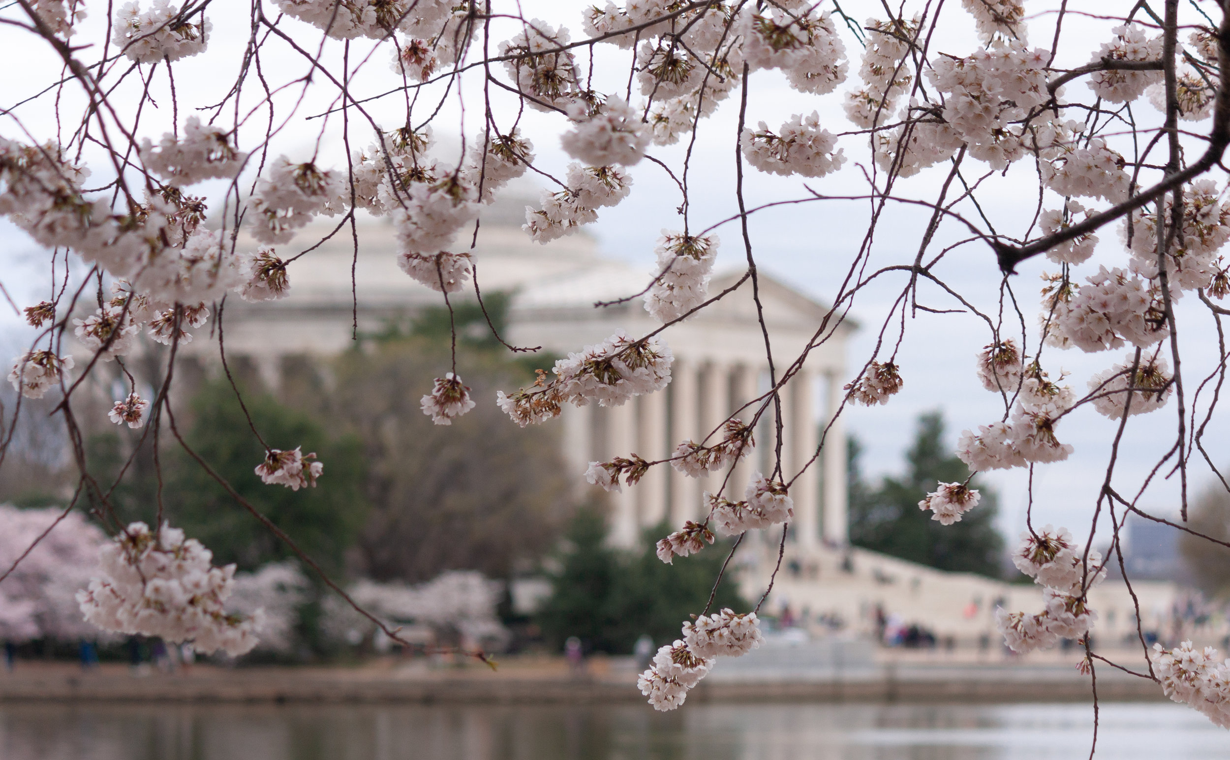 Cherry Blossoms - Washington, DC 2019