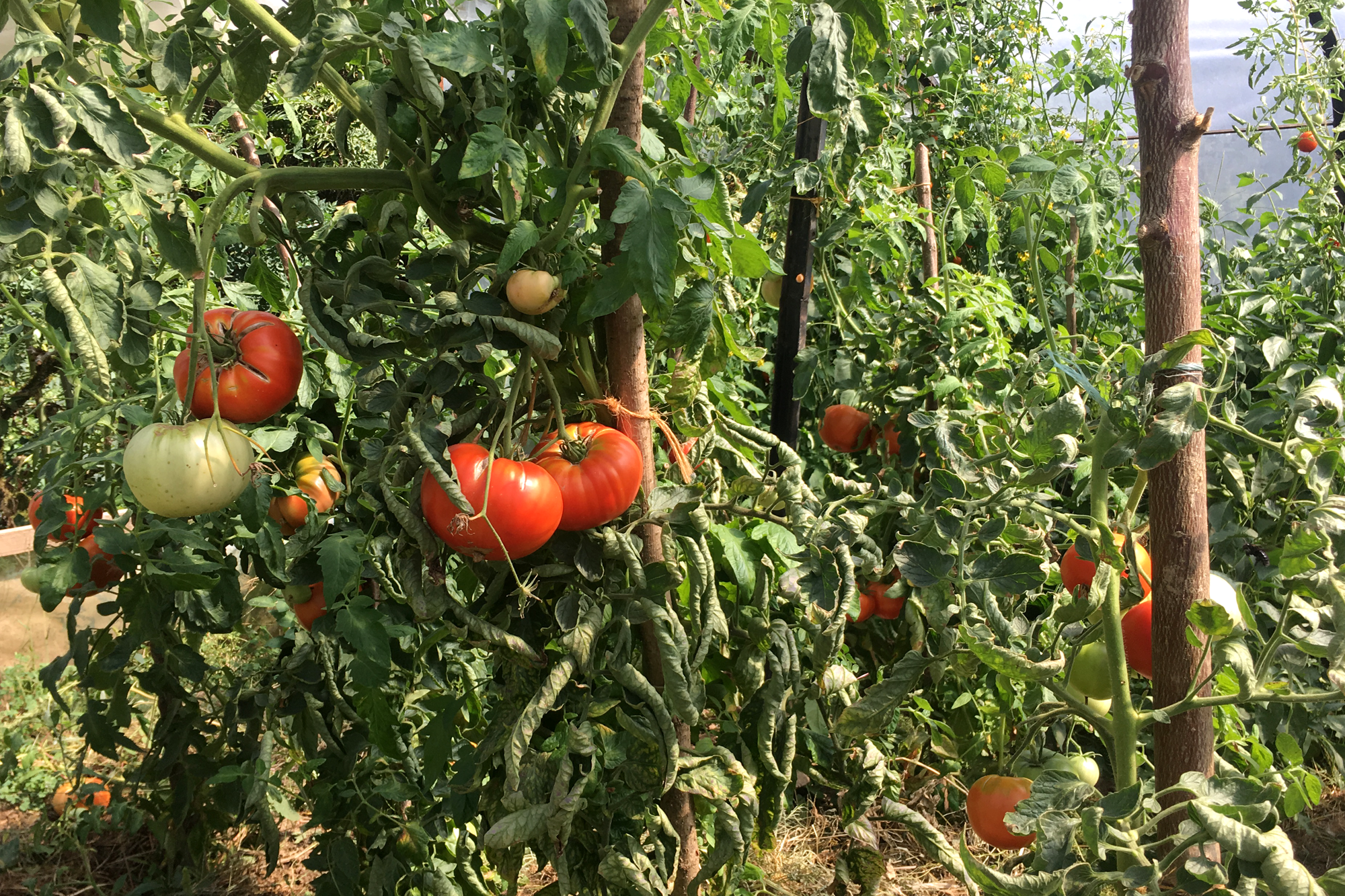 TomatoesGreenHouse.png