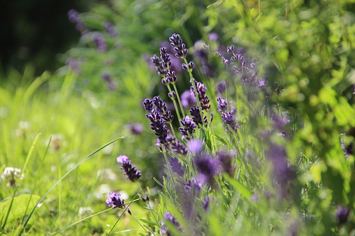 lavender-276098__340.jpg