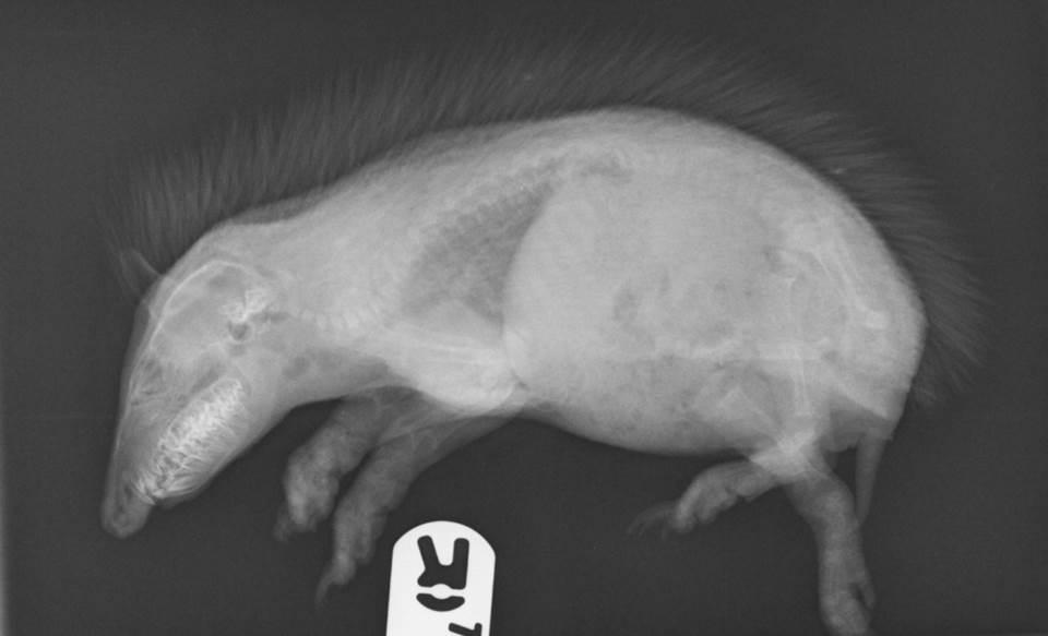 Hedgehog suffering with Metabolic Bone disease