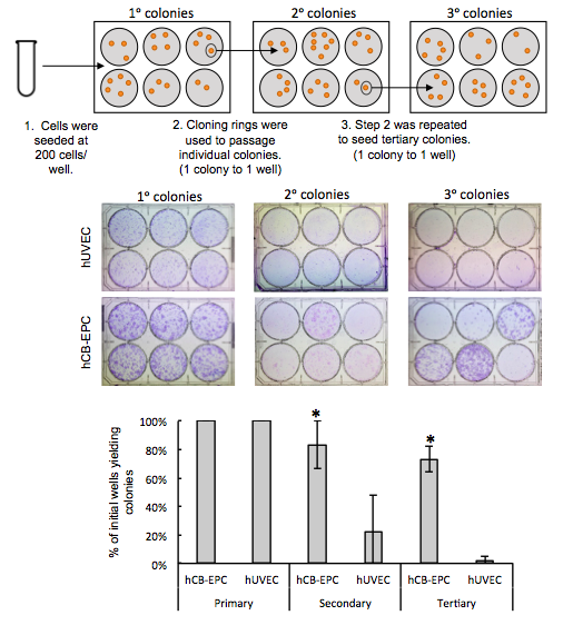 CELLvo™ hCB-EPCs form secondary and tertiary colonies. CELLvo™ hCB-EPCs and hUVECs were seeded at clonal density on CELLvo™ Matrix. Individual colonies were passaged using cloning rings to form secondary and tertiary colonies as shown in the diagram (top). CELLvo™ hCB-EPCs formed larger, denser, and more numerous primary colonies. Additionally, CELLvo™ hCB-EPCs consistently formed secondary and tertiary colonies, as shown by the representative images (middle) and the graph describing the percentage of originally seeded wells that yielded primary, secondary, and tertiary colonies (bottom). * p<.05 vs. hUVEC.