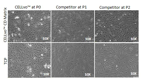 Figure 2. Brightfield images of chondrocytes in culture on CELLvo™CD Matrix vs. TCP. CELLvo™ HC-A on CELLvo™ CD Matrix (top left), exhibit a stellate morphology typical of chondrocytes. All other groups exhibit a more spindle-like, fibroblast morphology.