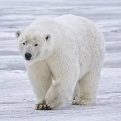 Polar bear JPG 250.jpg