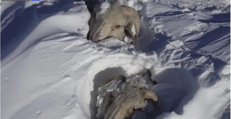 Cold- Patagonia sheeep.jpg