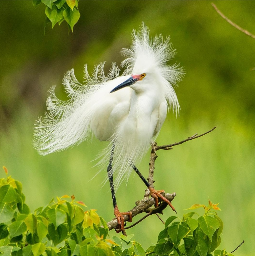 Snowy Egret in Louisiana