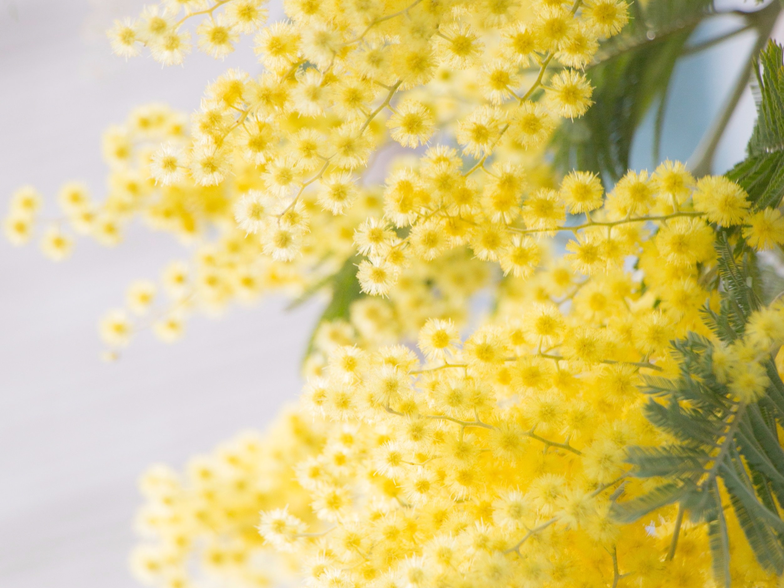 The mimosa blossom - In Italy IWD is more commonly known as  la Festa della Donna , and the importance of women is celebrated by the giving and receiving of yellow mimosa blossom.