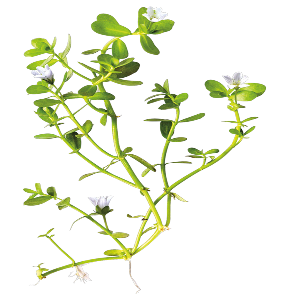 Bacopa Monnieri extract.png