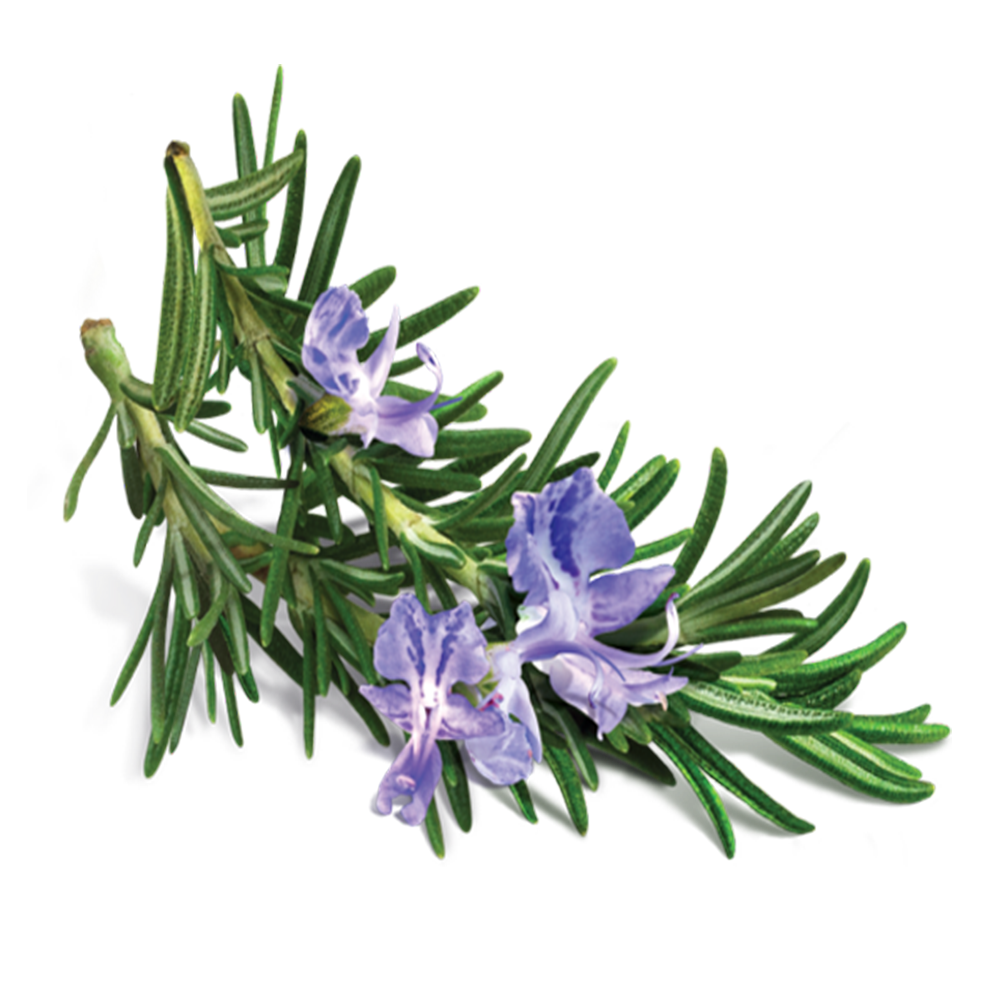 Rosemary leaf extract.png
