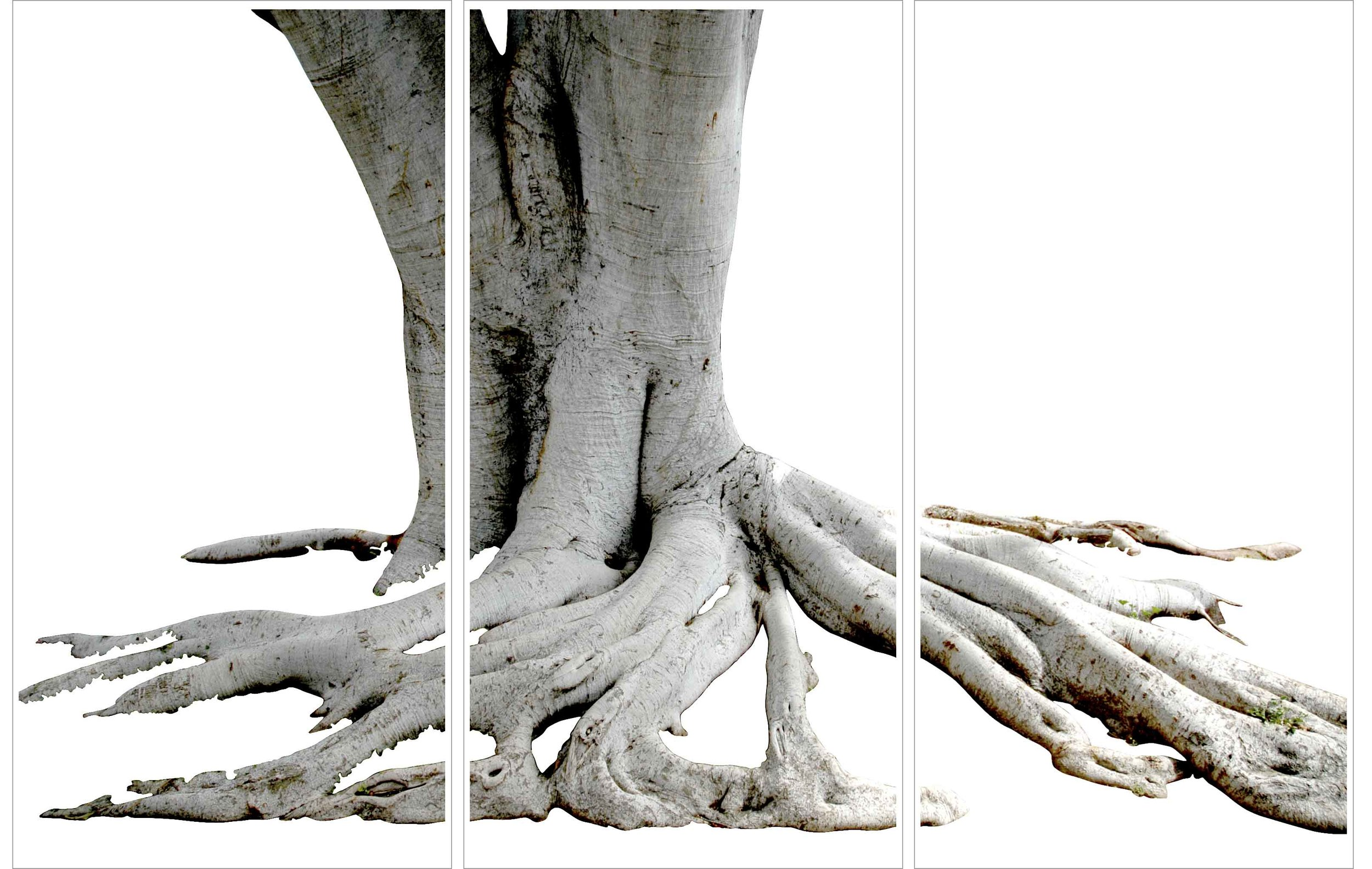 sycamore root.jpg
