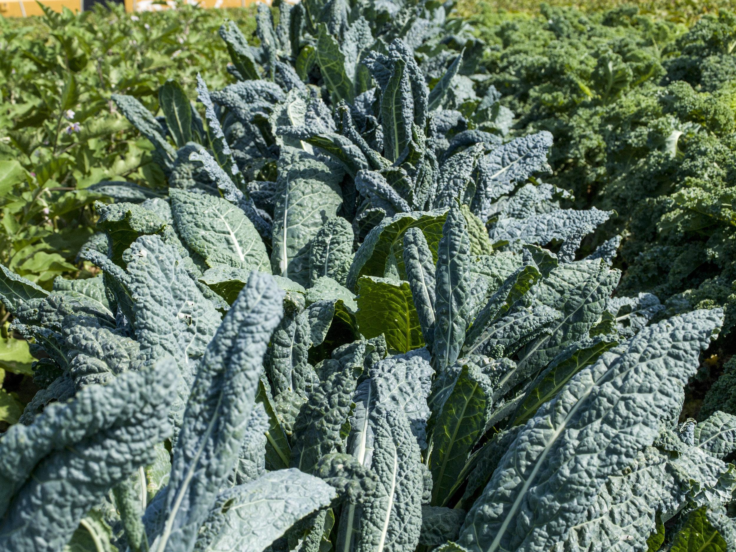 Kale_Negro_di_Toscana.JPG
