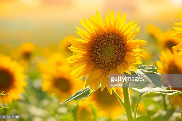 Sunflower Oil - Due to its emollient properties, sunflower oil helps the skin retain its moisture.Sunflower oil is also rich in vitamins A, C and D and healthy carotenoids and waxes which form a protective barrier on the skin. Thus, this oil is effective in the treatment of acne.The antioxidant properties of sunflower oil help in preventing premature signs of aging.