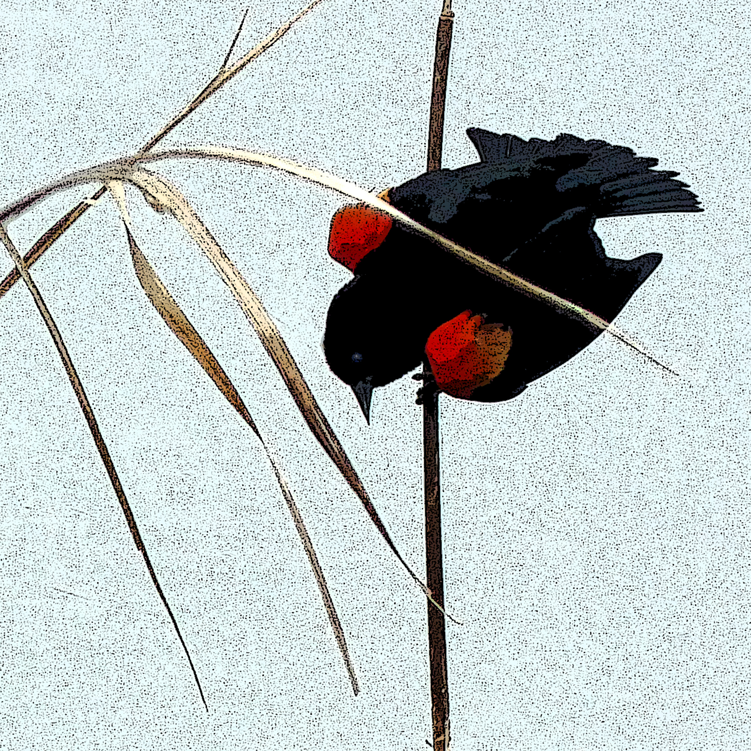 Red-Winged Blackbird, 2015
