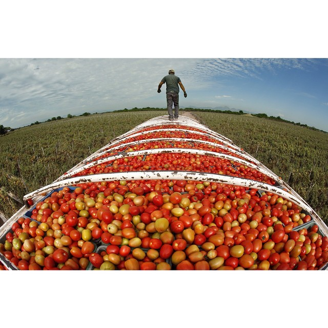 2 months with migrant workers in Mexico. Many of these tomatoes ready for #export to the #US were picked by children.  Check out the series for more pictures and videos starting this Sunday. (See link in bio) #mexico #childlabor #food #news #documentary #storytelling
