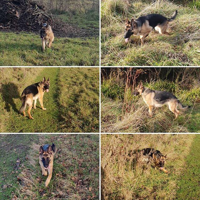Private walk #dogwalking #germanshepherd #dogsofinstagram #housesitting