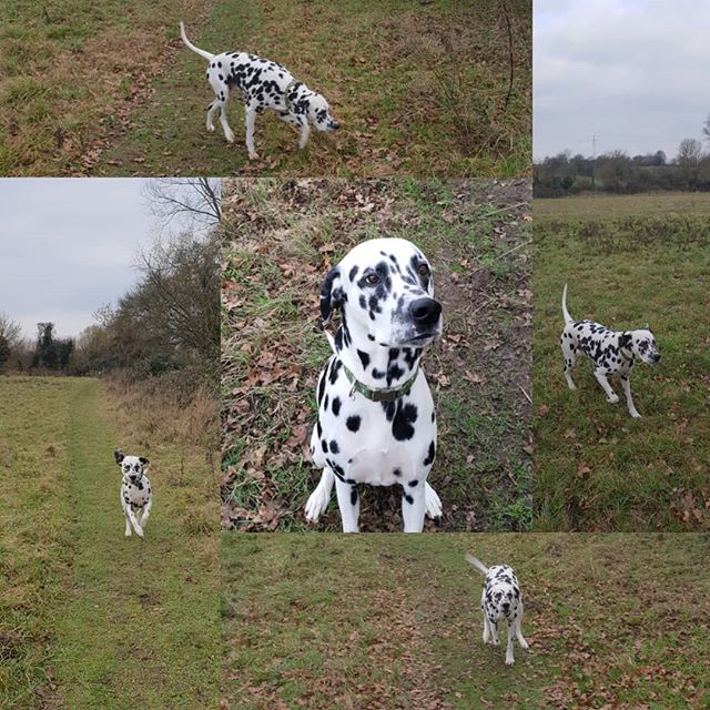 Private walk #dalmatian #dogwalking #dogsofinstagram #housesitting