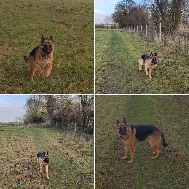 Private walk #germanshepherd #dogwalking #dogsofinstagram #housesitting