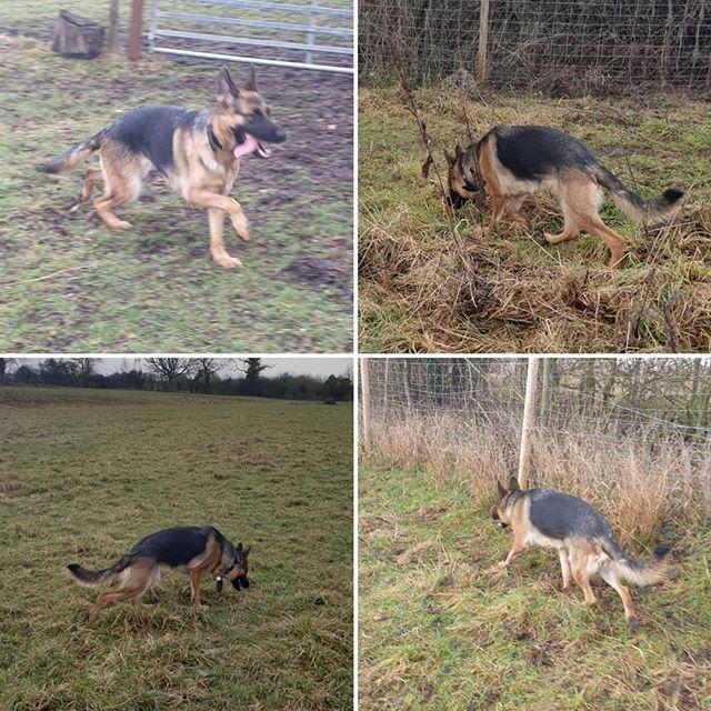 Private walk #germanshepherd #dogwalking #dogsofinstagram