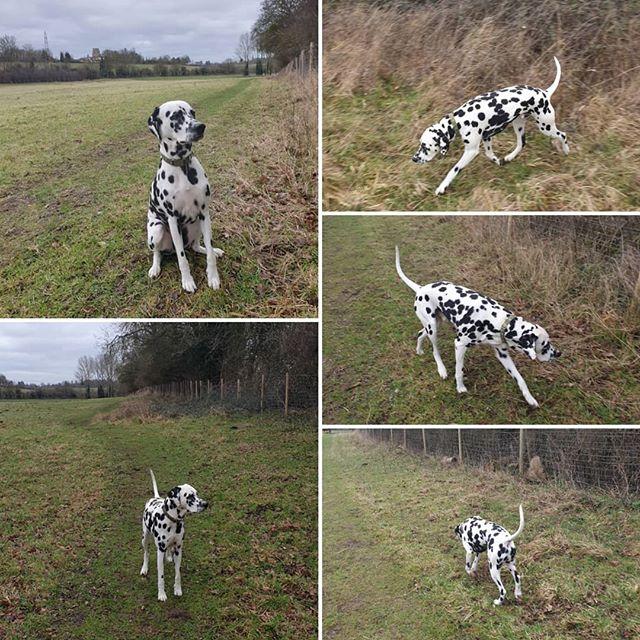 Private walk #dalmatian #dogwalking #dogsofinstagram