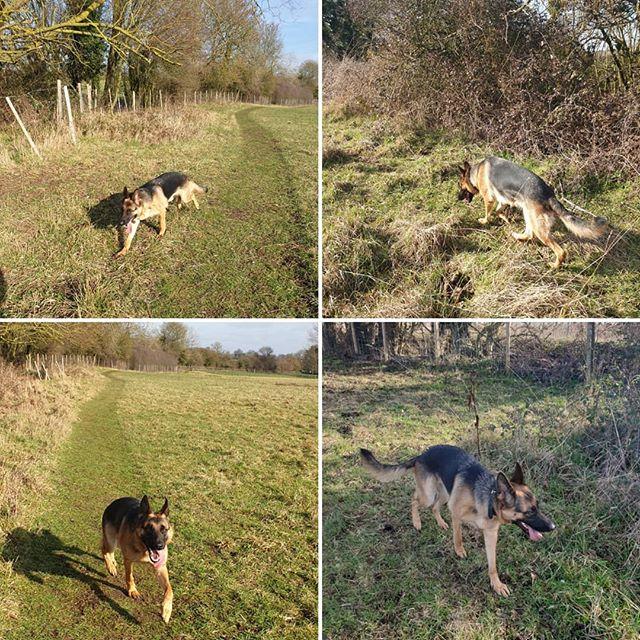 Private walk #germanshepherd #dogsofinstagram #dogwalking